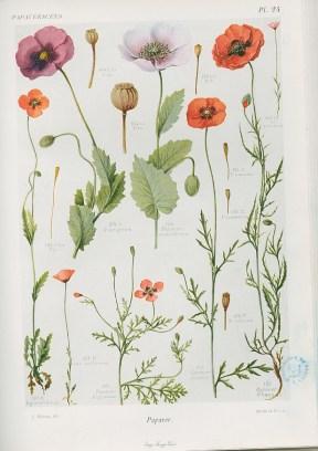 Flore complète, illustrée en couleurs, de France, Suisse et Belgique, par Gaston Bonnier. 1912-1935, Médiathèque du Grand Troyes, photo P. Jacquinot. Cote 1089, pl. 24