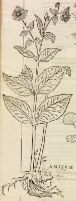 """1 pincée de graines d'anis. Le botaniste Leonhart Fuchs (1501-1566) fut l'un des premiers à représenter les plantes de façon rigoureuse et dans leur intégralité dans son livre """"De Historia stirpium""""."""