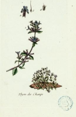 """1 cuillère à café de feuilles de thym. Planche extraite de la """"Flore parisienne"""" de Pierre Bulliard (1752-1793)."""