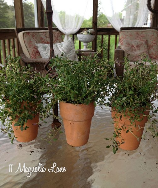 Thyme in terra cotta pots.
