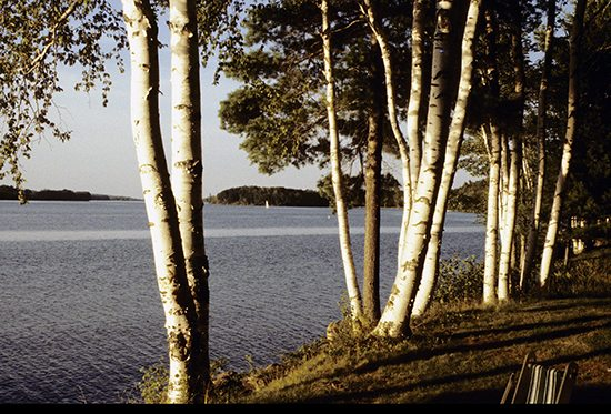 maine-birch-trees