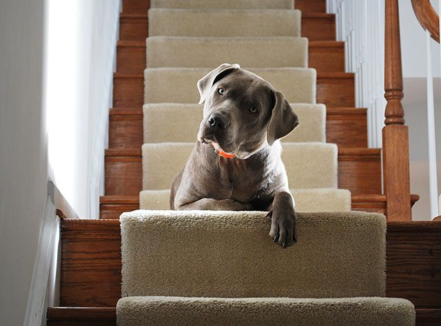 dog-on-steps1