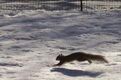 Squirrel, fliehend