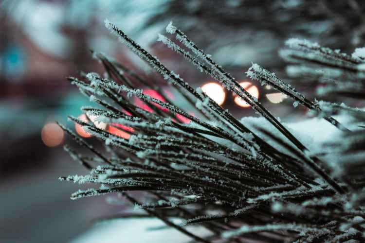 macro photography of needle leafed plant with snowflakes