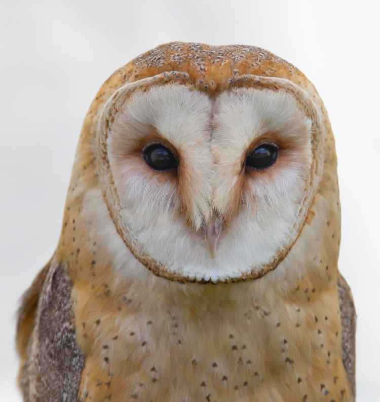white and brown owl
