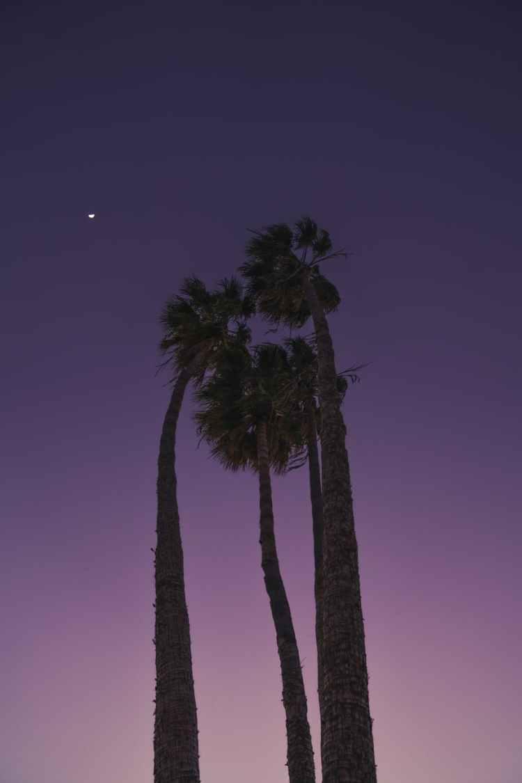 tall palm trees under purple sky