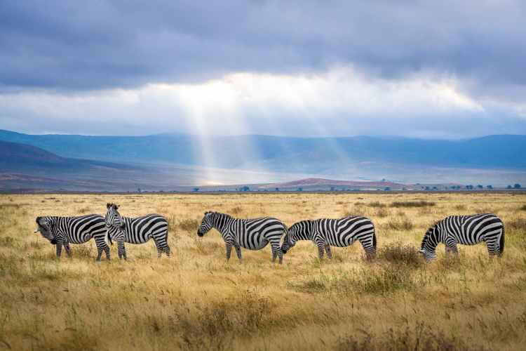five zebra grazing on grass field