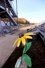 Black Eyed Susan at Derby Downs