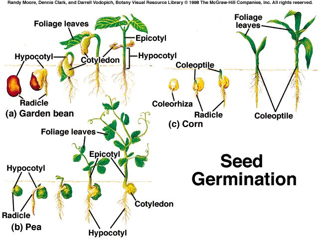 Image Result For How Long Does It Take For Ginseng To Grow