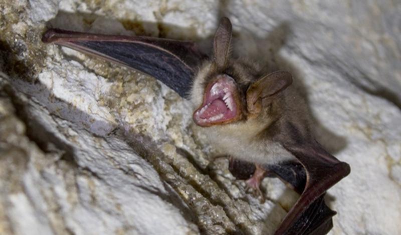 Как выглядят летучие мыши вампиры