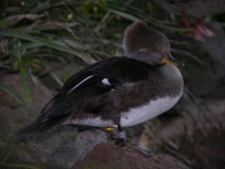2007-01-23_145313-duck