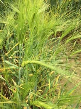Barley at the WSU Mount Vernon Research Center