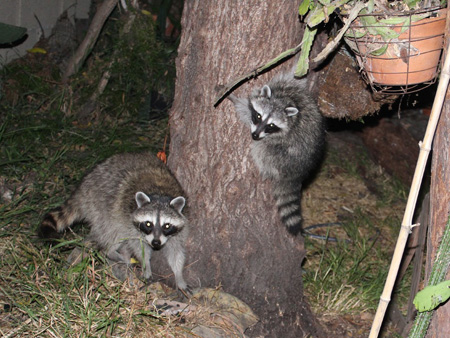 Raccoons-gang-of-4_15
