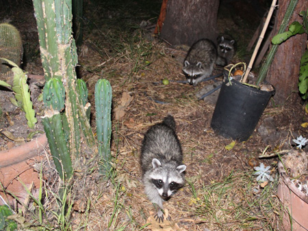 Raccoons-gang-of-4_2