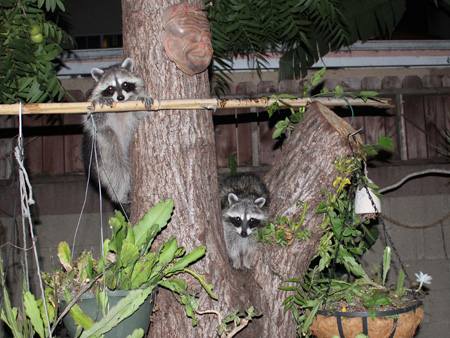 Raccoons-gang-of-4_3