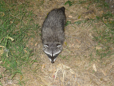 Raccoons-gang-of-4_6