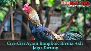 Ciri-Ciri-Ayam-Bangkok-Birma-Asli-Jago-Tarung