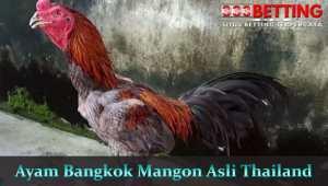 Ayam-Bangkok-Mangon-Asli-Thailand
