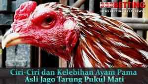 Ciri-Ciri-dan-Kelebihan-Ayam-Pama-Asli-Jago-Tarung-Pukul-Mati
