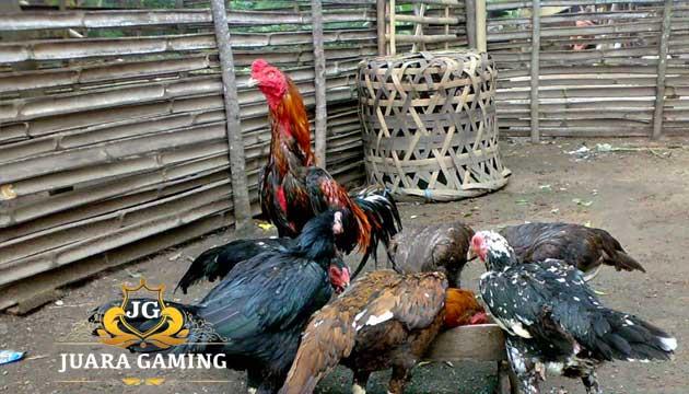 Beternak Ayam Jago