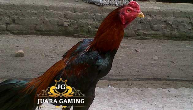 Cara Sukses Ternak Ayam Bangkok Super