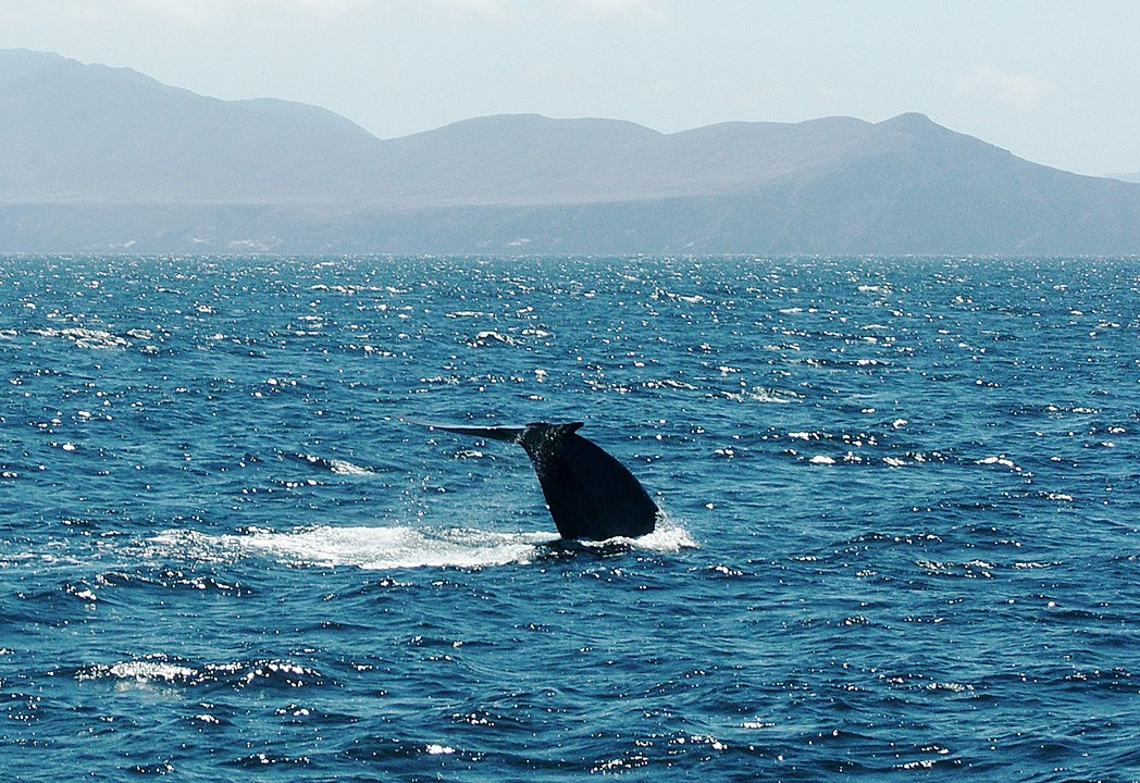 New Discovery:  Blue Whale population in the Western Indian ocean