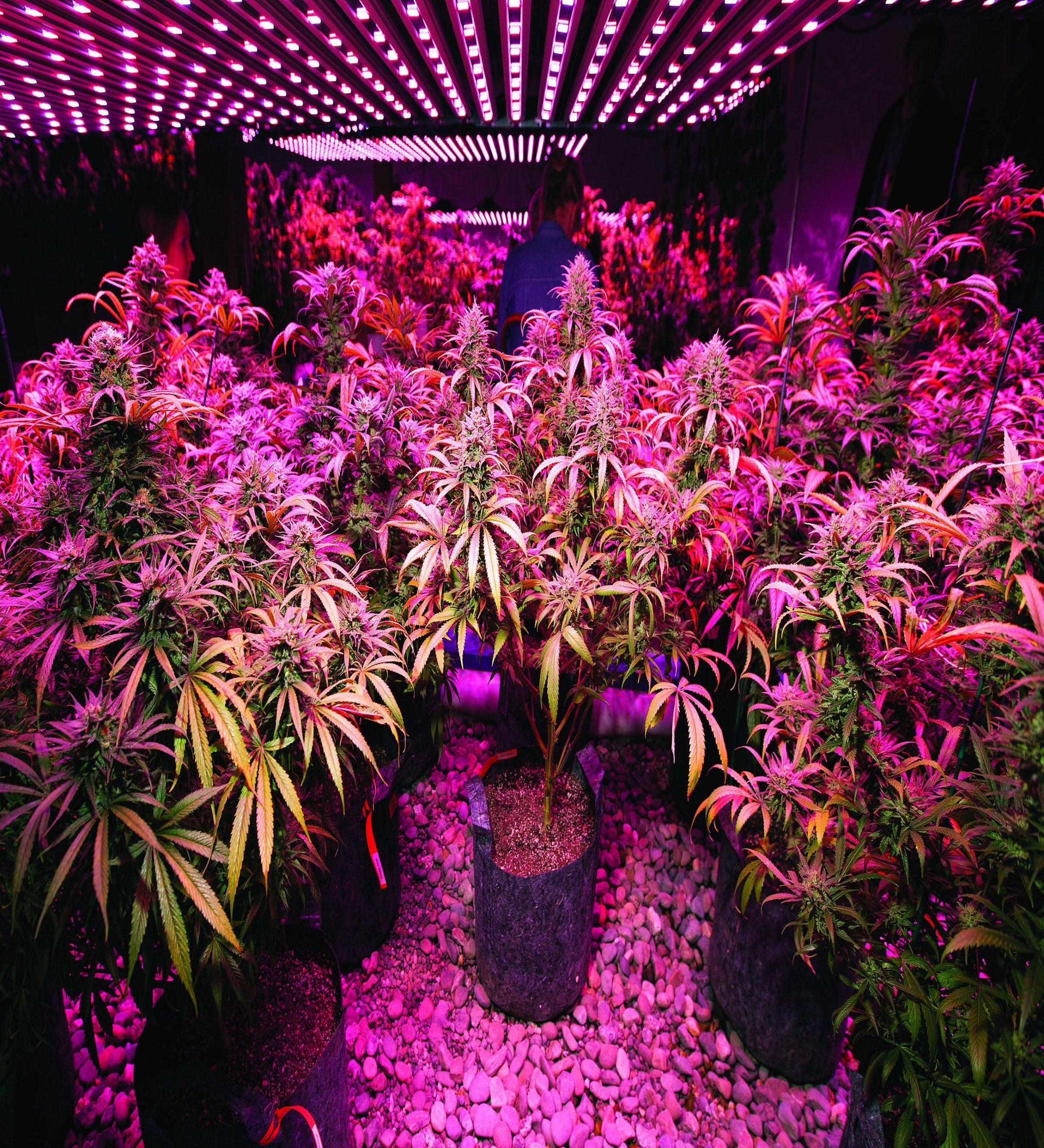 Master Cannabis Grower