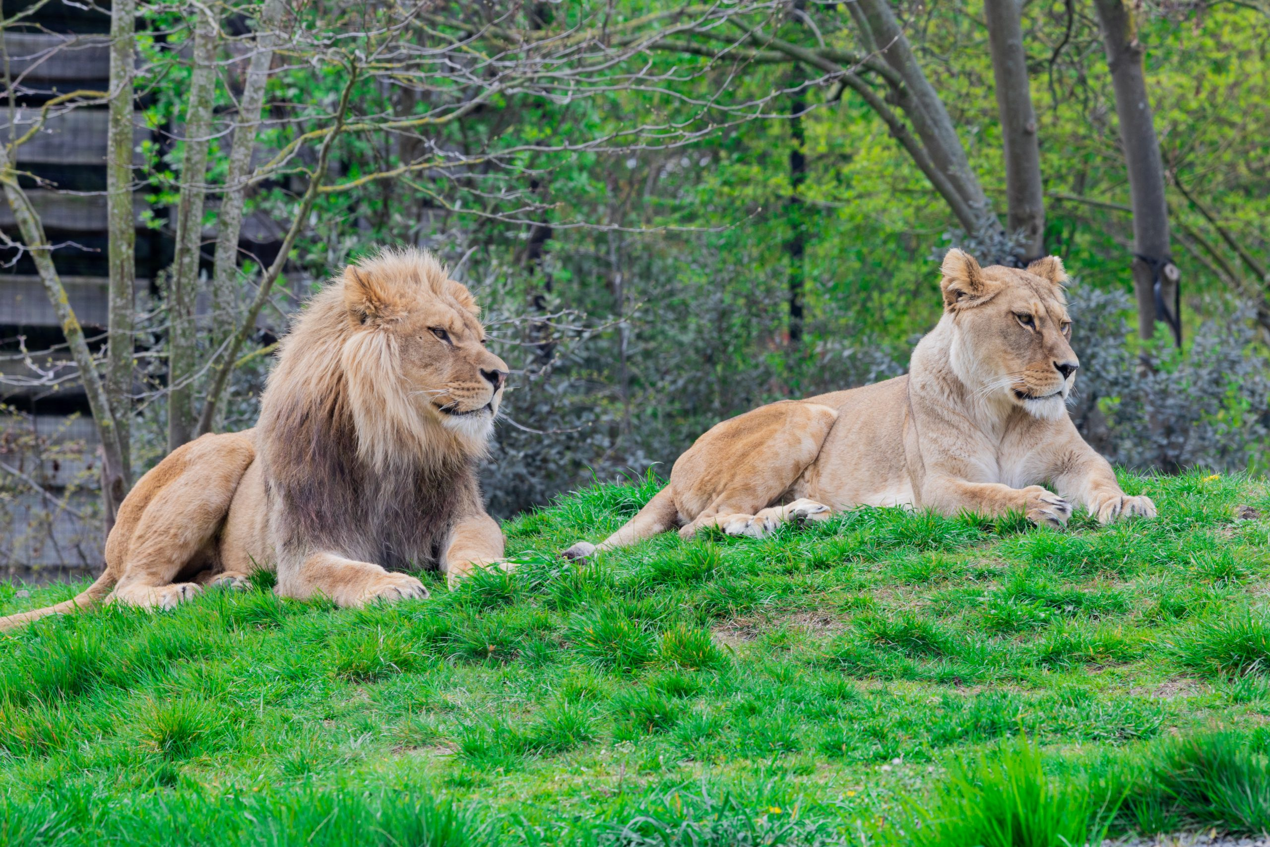 Lions Found Living with Skin Diseases in Terrible Condition at Pienika Farm in South Africa