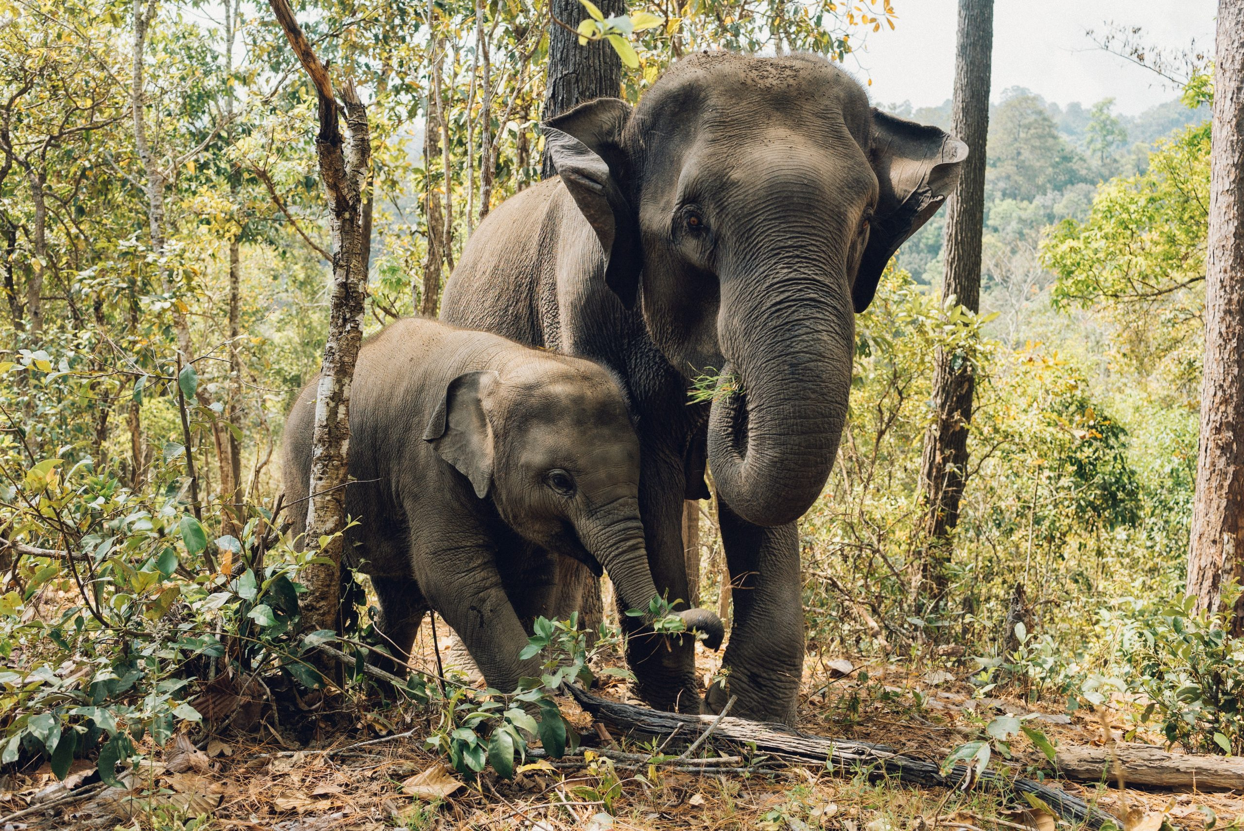 Baby Elephant Being Used as Party Prop to Entertain Guests at Five-Star Resort
