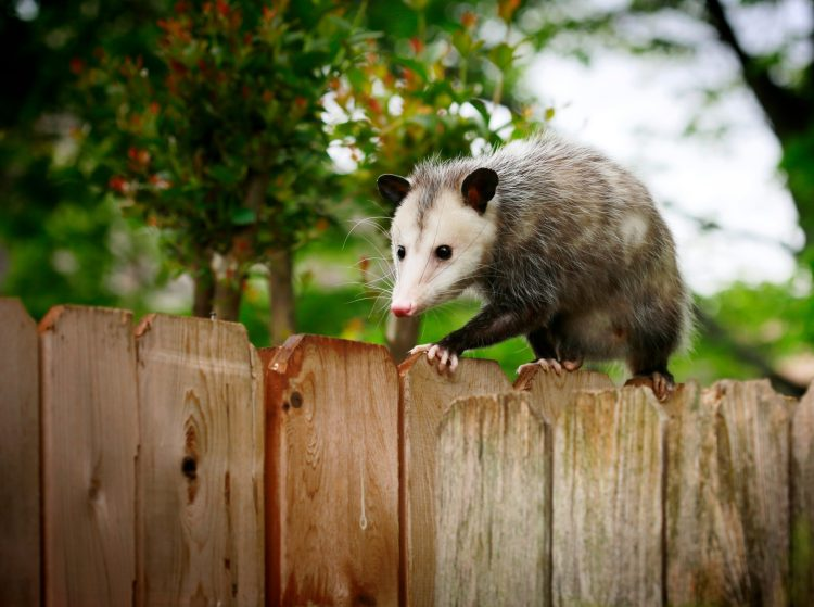 Petition to End North Carolina's Cruel New Year Eve's Live Opossum Drop