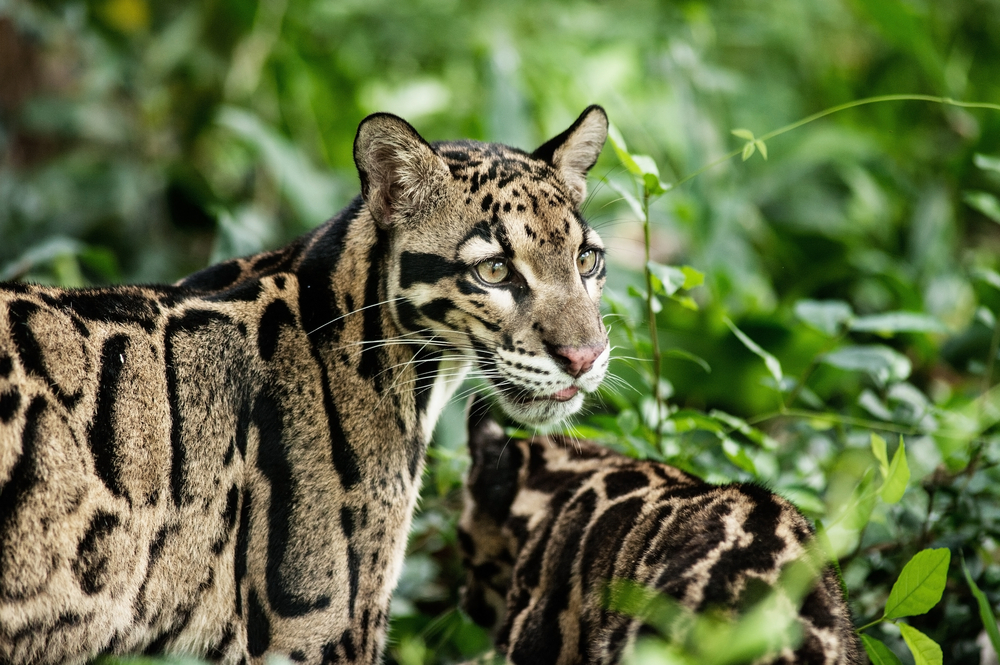 Petition: Save Rare Clouded Leopards From Extinction!