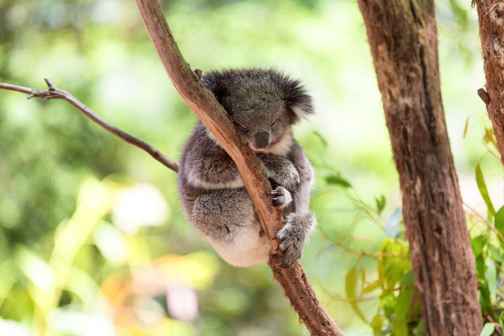 Petition: Ban Logging in Koala Habitats