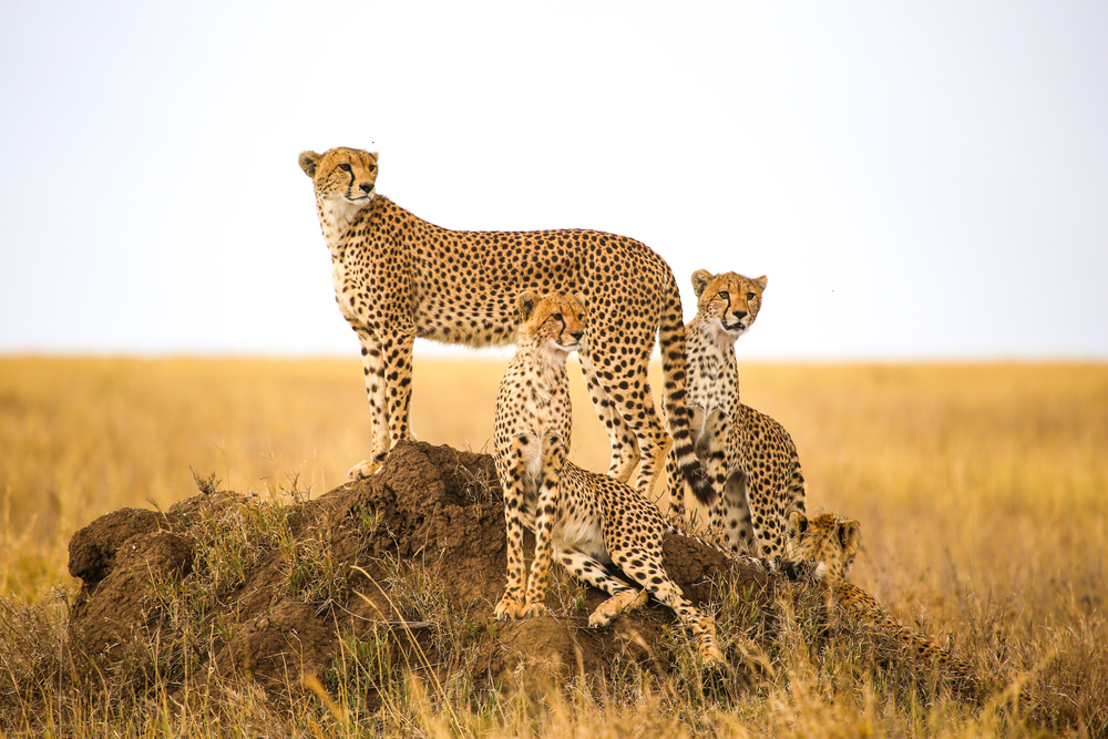 Petition: Protect Cheetahs from Trophy Hunting