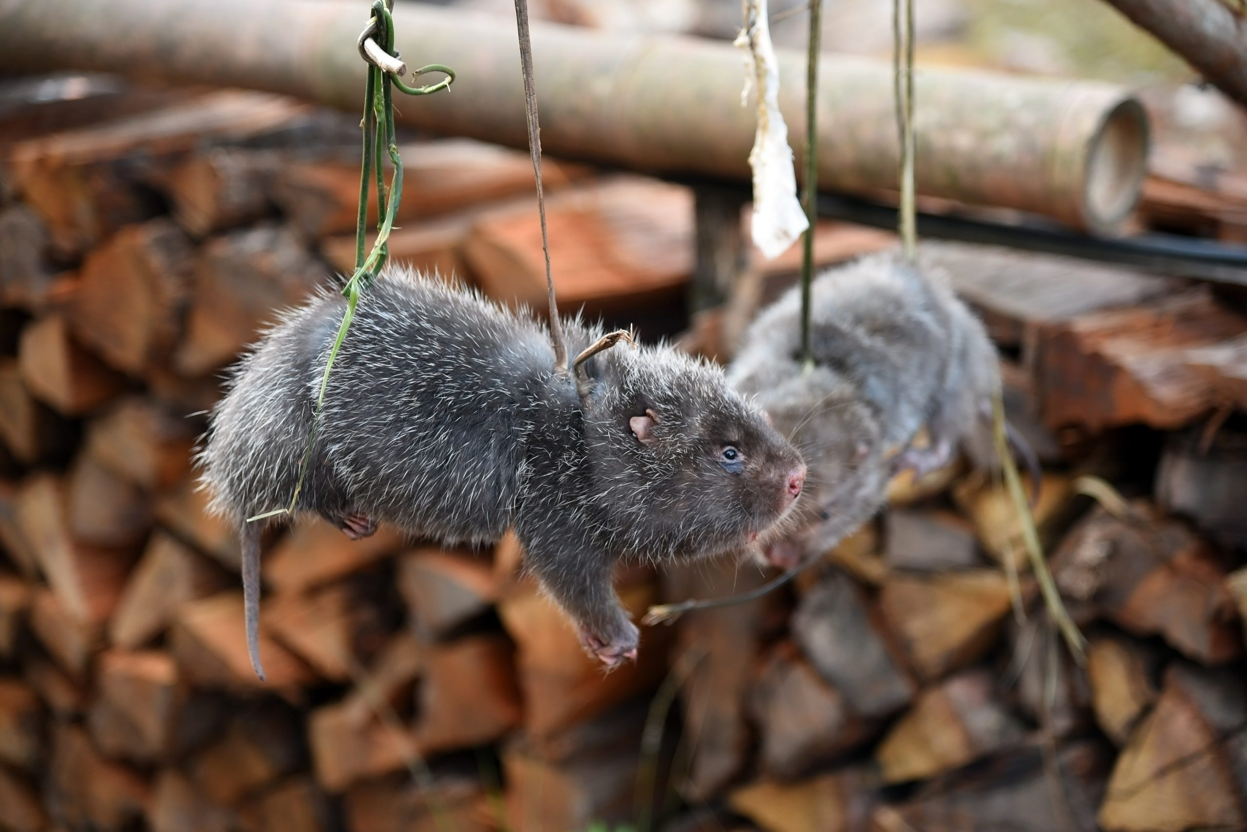 Petition: Lead Epidemiologist Says Coronavirus May be Linked to Breeding of Huge Rats in China Consumed to Detoxify the Body