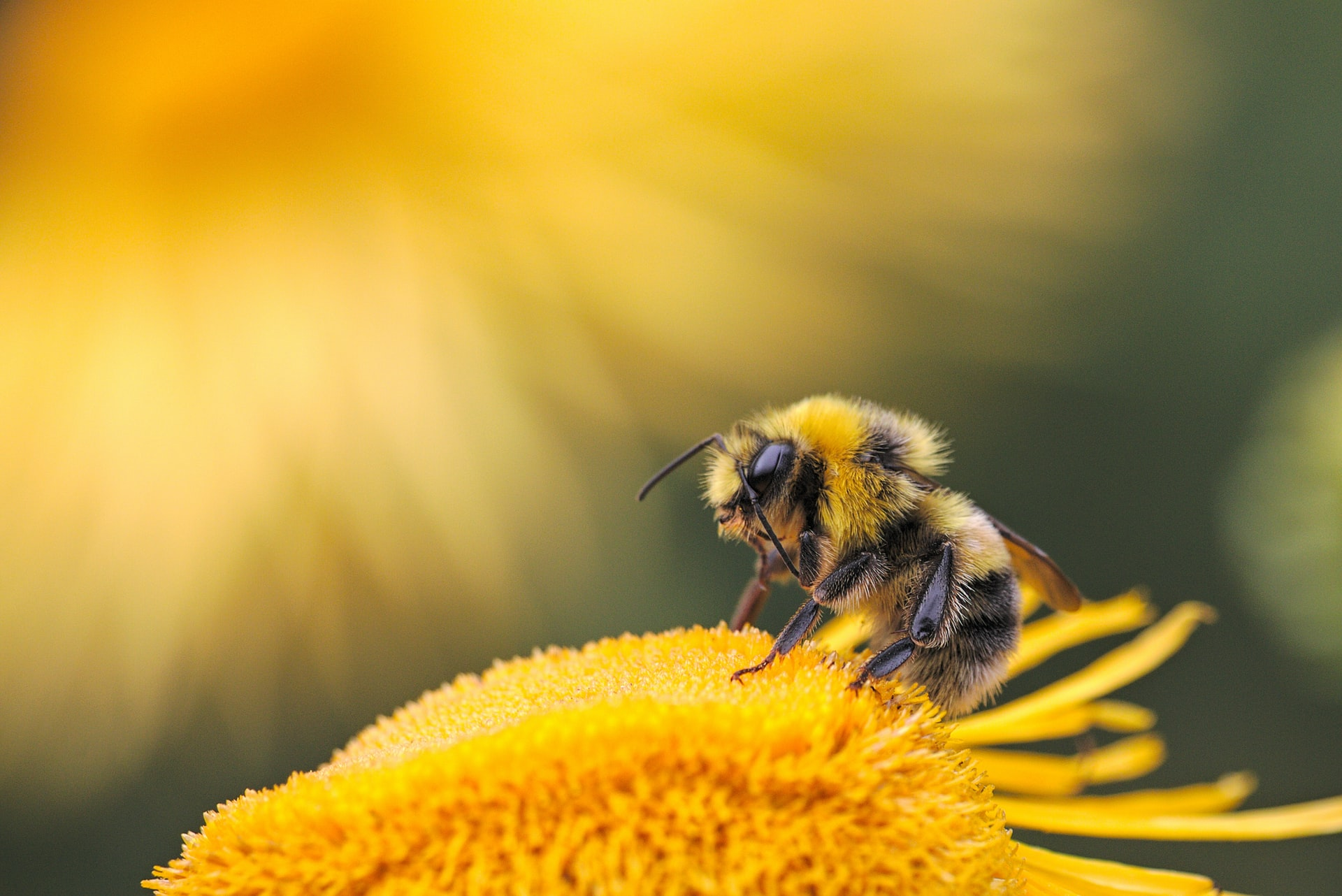 American Bumblebee Could Be Added to the Endangered Species List