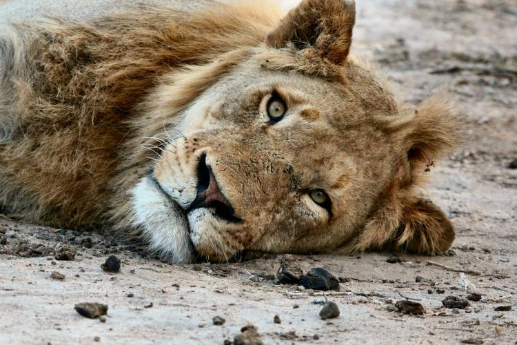 30 Lions Had to be Euthanized After Wildfire