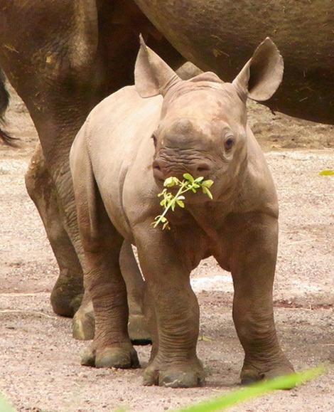 ZooBorns: Tokyo's Ueno Zoo - Boisterous Rhino Baby