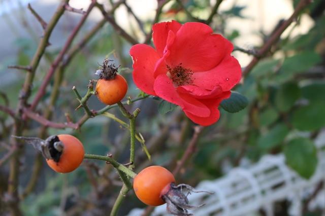 「サラバンド」だったと思います。初夏一季咲きのバラなのですが、温暖化の証?でしょうか。結実とともに盛んに花開いています。