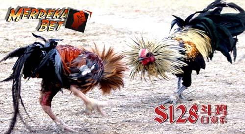 Cara Daftar Judi Sabung Ayam Online Terpercaya