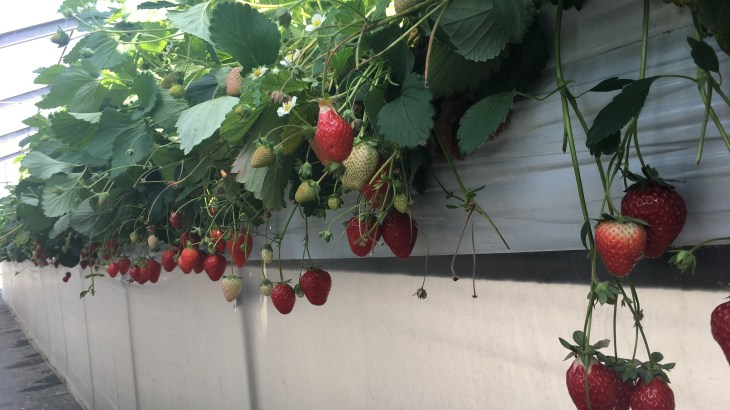 小田原にあるいろいろな種類の甘いイチゴ食べ放題&イチゴ狩り「AGRI WAYS(アグリウェイズ)」