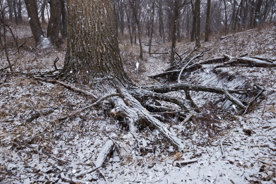 At the Tangle Root Cottonwood - Snow Storm Coming