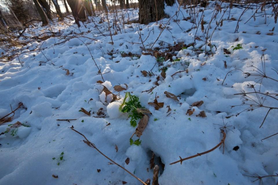 Deer Browsing Spot in the Snow