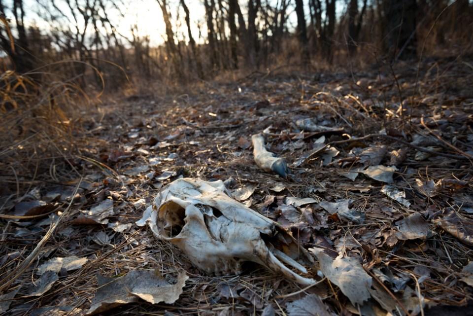 Deer Skull Near the Locust Grove