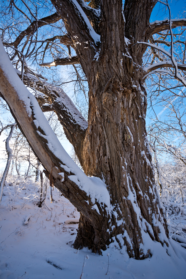 Grandmother Cottonwood Right After the Snow