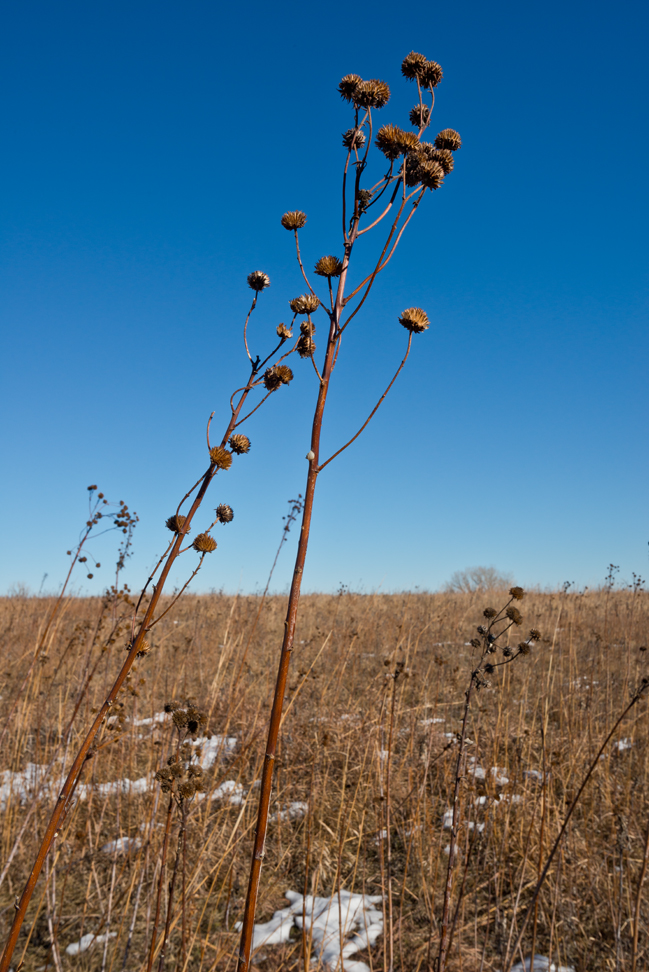 Seed Heads & Snow up on the Prairie