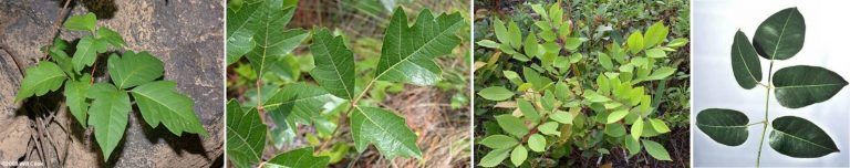 poison ivy, poison oak, hiking, woods, first aid