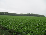 The view towards Trones Wood from Bernafay as seen from the left side of the 17th Manchesters advance on 9th July 1916