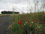 Looking towards Machine Gun Wood with poppies