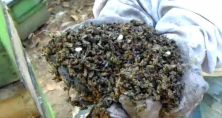 3 millones de abejas fueron exterminadas en el vecino municipio de Sevillla