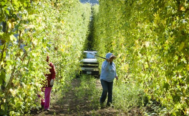 2012-november-december-1859-magazine-willamette-valley-oregon-hop-oregon-beer-goschie-farms-harvest